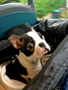 Boston Terrier Bus Ride Home