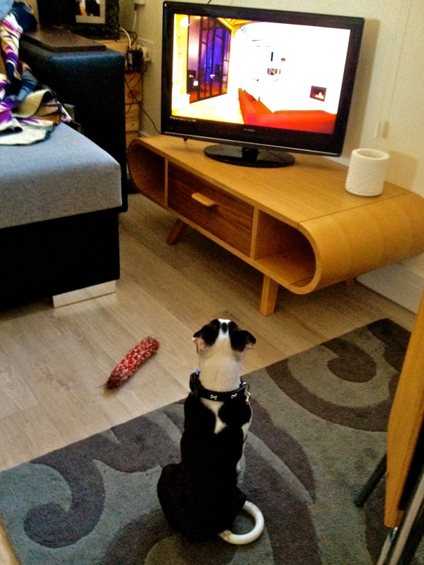 Boston Terrier Watching TV
